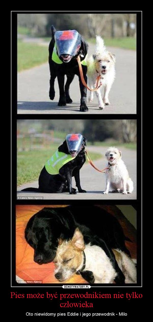 Pies może być przewodnikiem nie tylko człowieka – Oto niewidomy pies Eddie i jego przewodnik - Milo
