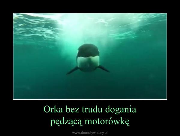 Orka bez trudu doganiapędzącą motorówkę –