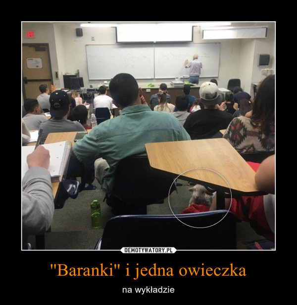 ''Baranki'' i jedna owieczka – na wykładzie