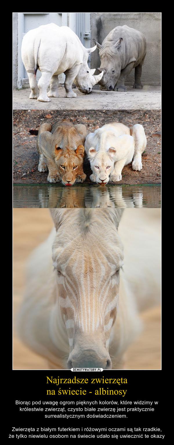 Najrzadsze zwierzętana świecie - albinosy – Biorąc pod uwagę ogrom pięknych kolorów, które widzimy w królestwie zwierząt, czysto białe zwierzę jest praktycznie surrealistycznym doświadczeniem. Zwierzęta z białym futerkiem i różowymi oczami są tak rzadkie,że tylko niewielu osobom na świecie udało się uwiecznić te okazy