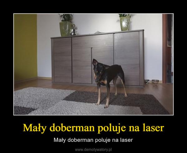 Mały doberman poluje na laser – Mały doberman poluje na laser