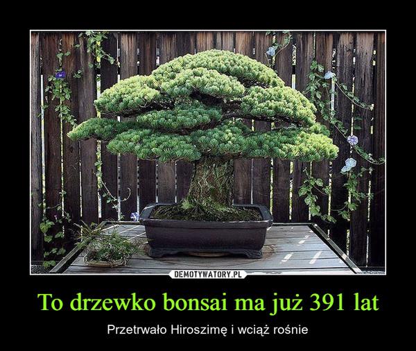 To drzewko bonsai ma już 391 lat – Przetrwało Hiroszimę i wciąż rośnie