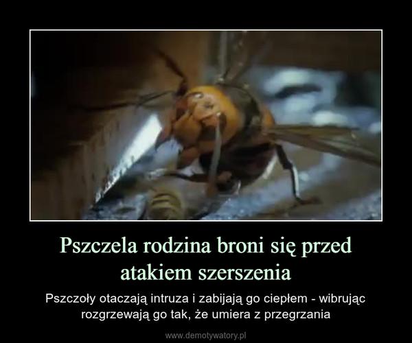 Pszczela rodzina broni się przedatakiem szerszenia – Pszczoły otaczają intruza i zabijają go ciepłem - wibrując rozgrzewają go tak, że umiera z przegrzania