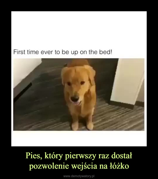 Pies, który pierwszy raz dostał pozwolenie wejścia na łóżko –