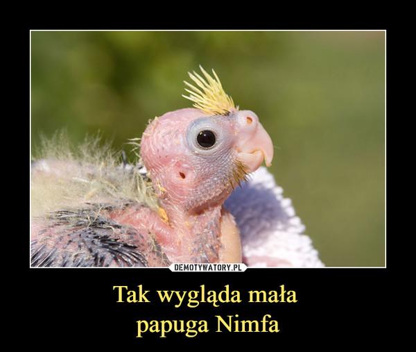 Tak wygląda mała papuga Nimfa –