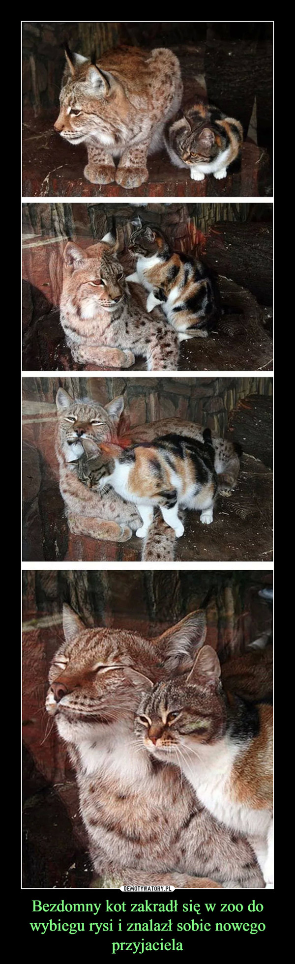 Bezdomny kot zakradł się w zoo do wybiegu rysi i znalazł sobie nowego przyjaciela –