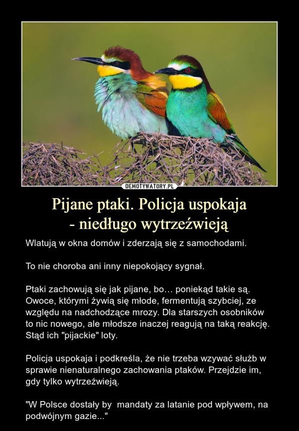 """Pijane ptaki. Policja uspokaja- niedługo wytrzeźwieją – Wlatują w okna domów i zderzają się z samochodami.To nie choroba ani inny niepokojący sygnał.Ptaki zachowują się jak pijane, bo… poniekąd takie są. Owoce, którymi żywią się młode, fermentują szybciej, ze względu na nadchodzące mrozy. Dla starszych osobników to nic nowego, ale młodsze inaczej reagują na taką reakcję. Stąd ich """"pijackie"""" loty.Policja uspokaja i podkreśla, że nie trzeba wzywać służb w sprawie nienaturalnego zachowania ptaków. Przejdzie im, gdy tylko wytrzeźwieją. """"W Polsce dostały by  mandaty za latanie pod wpływem, na podwójnym gazie..."""""""