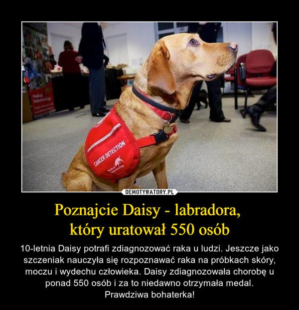 Poznajcie Daisy - labradora, który uratował 550 osób – 10-letnia Daisy potrafi zdiagnozować raka u ludzi. Jeszcze jako szczeniak nauczyła się rozpoznawać raka na próbkach skóry, moczu i wydechu człowieka. Daisy zdiagnozowała chorobę u ponad 550 osób i za to niedawno otrzymała medal.Prawdziwa bohaterka!