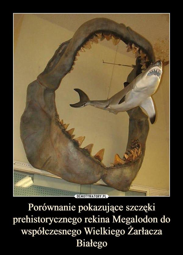Porównanie pokazujące szczęki prehistorycznego rekina Megalodon do współczesnego Wielkiego Żarłacza Białego –