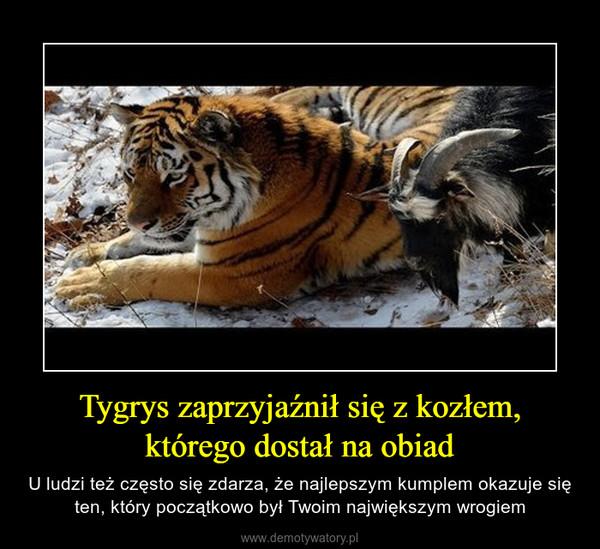 Tygrys zaprzyjaźnił się z kozłem, którego dostał na obiad – U ludzi też często się zdarza, że najlepszym kumplem okazuje się ten, który początkowo był Twoim największym wrogiem