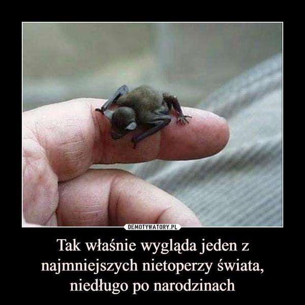Tak właśnie wygląda jeden z najmniejszych nietoperzy świata, niedługo po narodzinach –