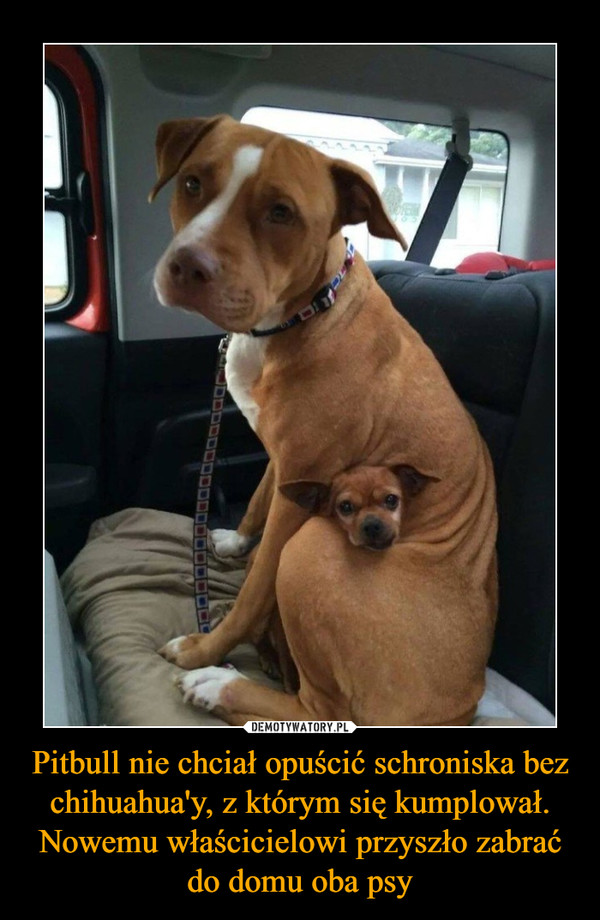 Pitbull nie chciał opuścić schroniska bez chihuahua'y, z którym się kumplował. Nowemu właścicielowi przyszło zabrać do domu oba psy –