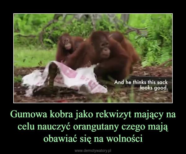 Gumowa kobra jako rekwizyt mający na celu nauczyć orangutany czego mają obawiać się na wolności –