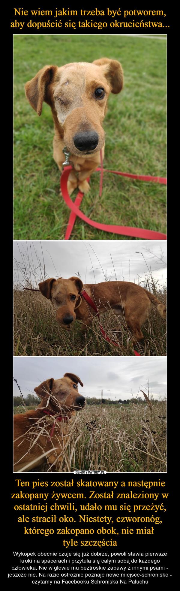 Ten pies został skatowany a następnie zakopany żywcem. Został znaleziony w ostatniej chwili, udało mu się przeżyć, ale stracił oko. Niestety, czworonóg, którego zakopano obok, nie miał tyle szczęścia – Wykopek obecnie czuje się już dobrze, powoli stawia pierwsze kroki na spacerach i przytula się całym sobą do każdego człowieka. Nie w głowie mu beztroskie zabawy z innymi psami - jeszcze nie. Na razie ostrożnie poznaje nowe miejsce-schronisko - czytamy na Facebooku Schroniska Na Paluchu