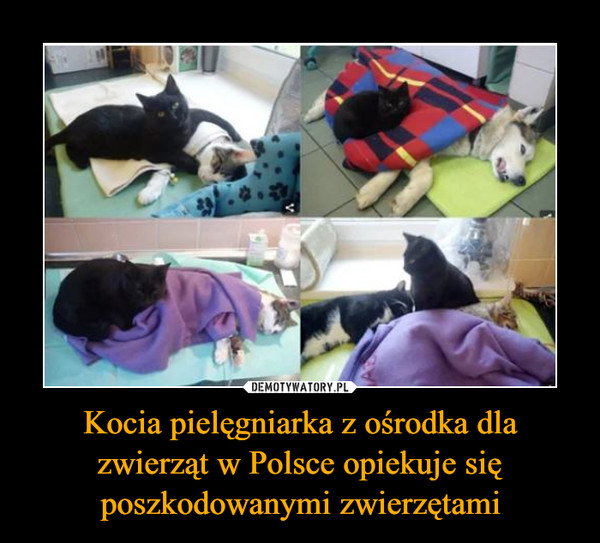Kocia pielęgniarka z ośrodka dla zwierząt w Polsce opiekuje się poszkodowanymi zwierzętami –