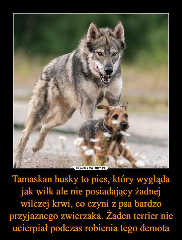 Tamaskan husky to pies, który wygląda jak wilk ale nie posiadający żadnej wilczej krwi, co czyni z psa bardzo przyjaznego zwierzaka. Żaden terrier nie ucierpiał podczas robienia tego demota –