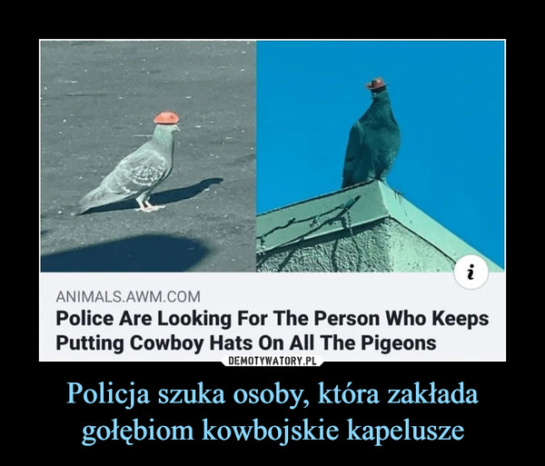 Policja szuka osoby, która zakłada gołębiom kowbojskie kapelusze –  ANIMALS.AWM.COMPolice Are Looking For The Person Who KeepsPutting Cowboy Hats On All The Pigeons