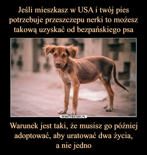 Jeśli mieszkasz w USA i twój pies potrzebuje przeszczepu nerki to możesz takową uzyskać od bezpańskiego psa Warunek jest taki, że musisz go później adoptować, aby uratować dwa życia, a nie jedno