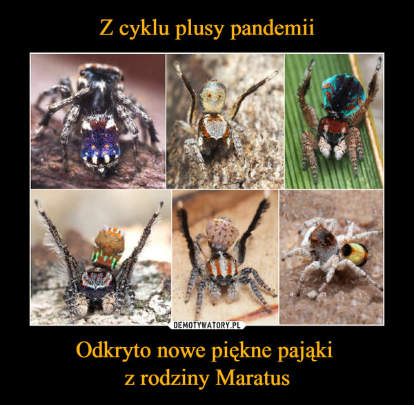 Odkryto nowe piękne pająki z rodziny Maratus –