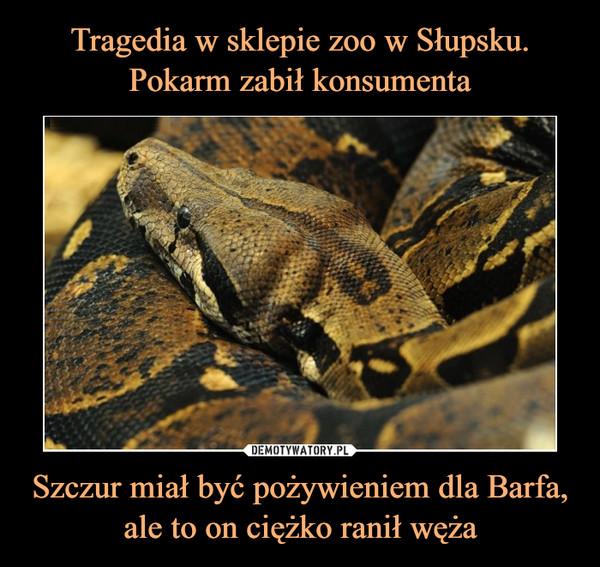 Szczur miał być pożywieniem dla Barfa, ale to on ciężko ranił węża –