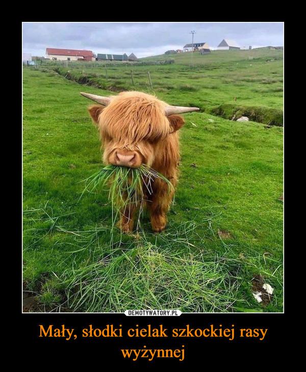 Mały, słodki cielak szkockiej rasy wyżynnej –
