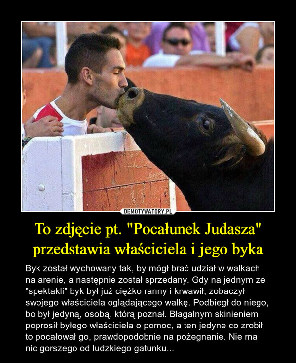 """To zdjęcie pt. """"Pocałunek Judasza"""" przedstawia właściciela i jego byka"""