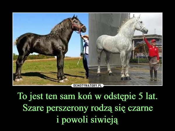 To jest ten sam koń w odstępie 5 lat. Szare perszerony rodzą się czarnei powoli siwieją –