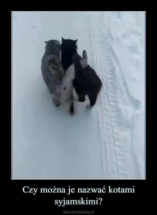 Czy można je nazwać kotami syjamskimi? –