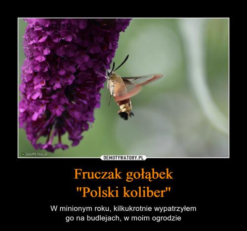 Fruczak gołąbek ''Polski koliber''