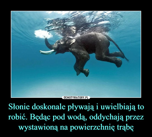Słonie doskonale pływają i uwielbiają to robić. Będąc pod wodą, oddychają przez wystawioną na powierzchnię trąbę