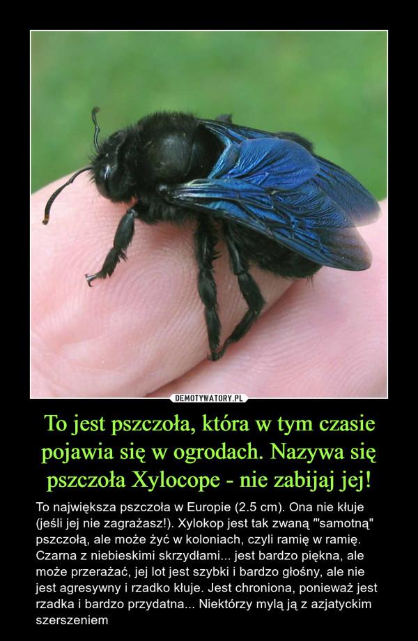 """To jest pszczoła, która w tym czasie pojawia się w ogrodach. Nazywa się pszczoła Xylocope - nie zabijaj jej! – To największa pszczoła w Europie (2.5 cm). Ona nie kłuje (jeśli jej nie zagrażasz!). Xylokop jest tak zwaną ′""""samotną"""" pszczołą, ale może żyć w koloniach, czyli ramię w ramię. Czarna z niebieskimi skrzydłami... jest bardzo piękna, ale może przerażać, jej lot jest szybki i bardzo głośny, ale nie jest agresywny i rzadko kłuje. Jest chroniona, ponieważ jest rzadka i bardzo przydatna... Niektórzy mylą ją z azjatyckim szerszeniem"""