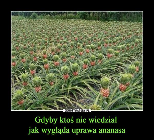 Gdyby ktoś nie wiedział jak wygląda uprawa ananasa